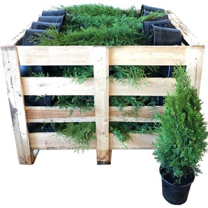 Lebensbaum Smaragd 70-80 cm 80 Stück