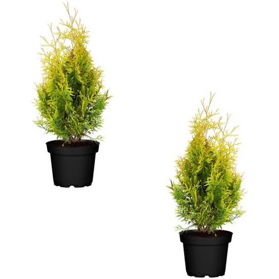 Lebensbaum Sunkist 12 cm Topf, 2er-Set