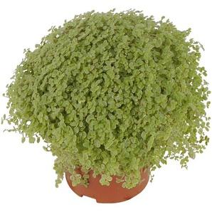 Luftverbesserer Bubikopf blassgrün 11 cm Topf, 2er-Set