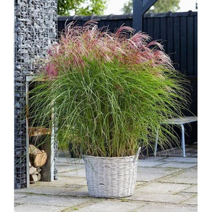 Dummy Marke Miscanthus Red Cloud®,1 Pflanze