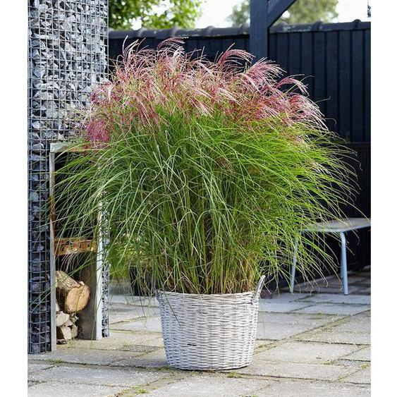 Miscanthus Red Cloud®,1 Pflanze