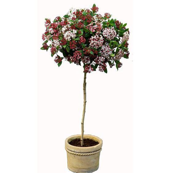 Mittelmeer-Winterschneeball zum Stämmchen gezogen, weißbraun blühend, 1 Pflanze