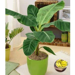 Musa Banana Tropicana-1 Pflanze