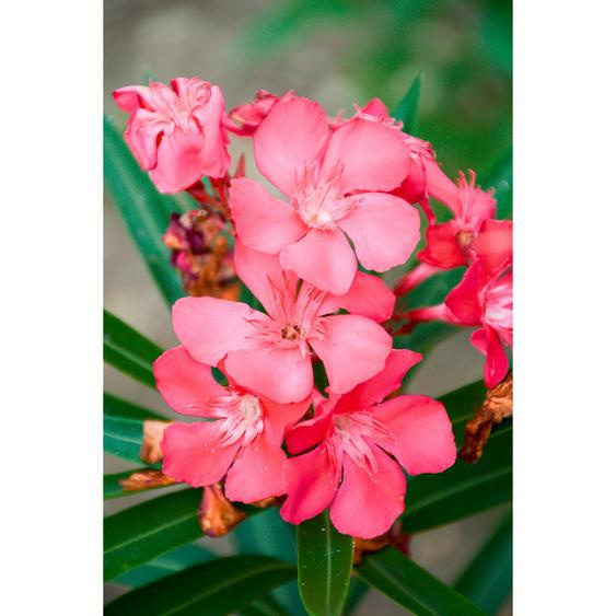 Oleander rosa 20 cm Topf