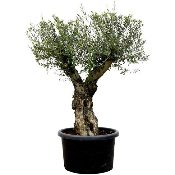Olive Stamm, 70 cm Topf