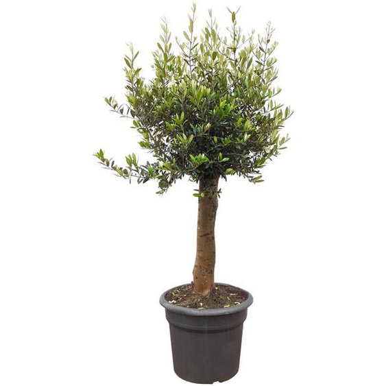 Oliven-Stamm 140 bis 180 cm, 50 cm Topf