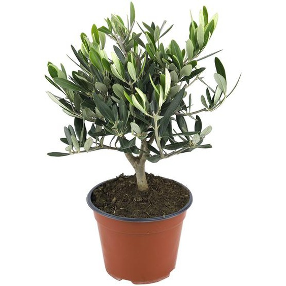 Olivenbusch 14 cm Topf