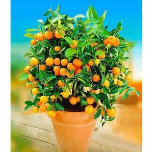 Orangen-Bäumchen,1 Pflanze Citrus microcarpa Calamondin Zitruspflanze