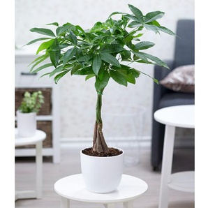Pachira Aquatica ca. 50 cm hoch,1 Pflanze, mit geflochtenem Stamm