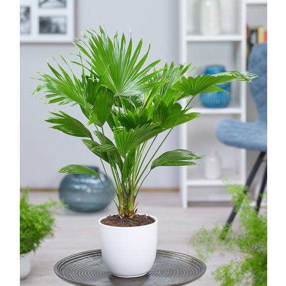 Palme Livistona Rotundifolia ca. 40 cm hoch,1 Pflanze