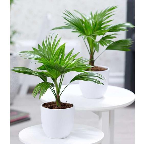 Palmen Duo,2 Pflanzen