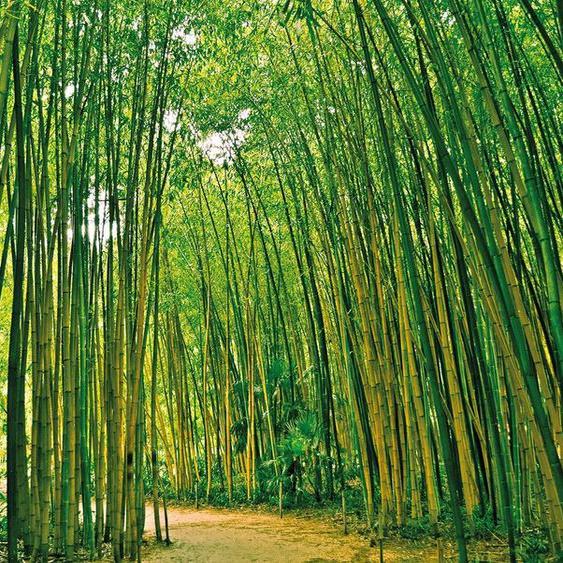 Papermoon Fototapete »Bamboo Forest«, glatt