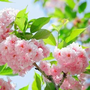 Papermoon Fototapete »Sakury Cherry Blossom«, glatt