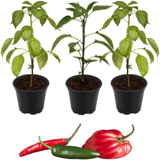 Peperoni Drachenfeuer-Mix Fireflame, Samira® Shiny & Cresto® Red 11 cm Topf, 3er-Set