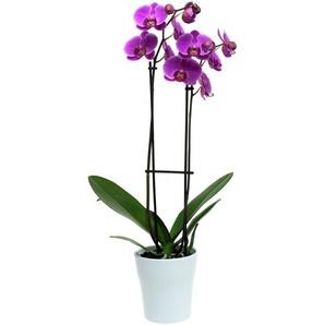 Phalaenopsis Hybride 2 Rispen lila