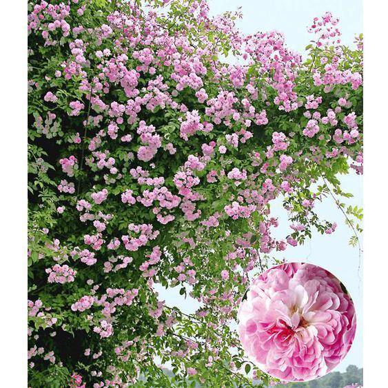 Rambler-Rosen Pauls Himalayan Musk Rambler, 1 Pflanze