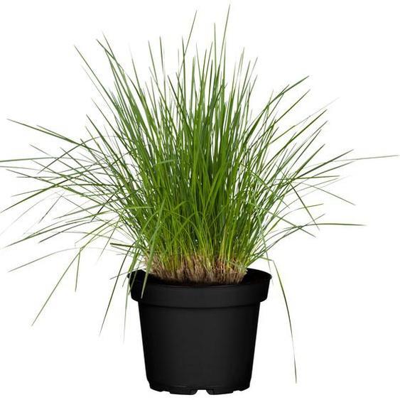 Rasen-Schmiele Goldschleier 19 cm Topf