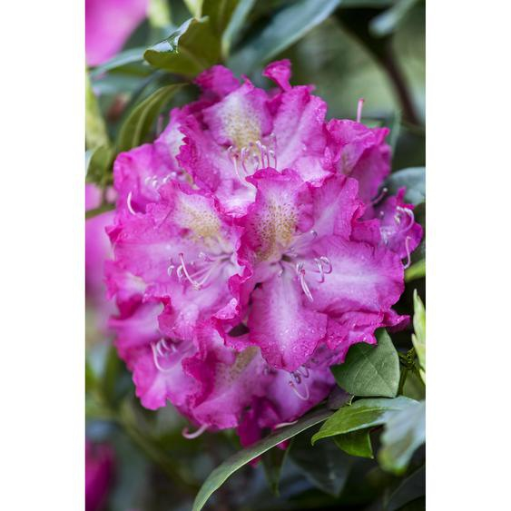 Rhododendron Alfred, 23 cm Topf