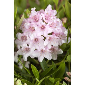 Rhododendron Bloombux®, 17 cm Topf