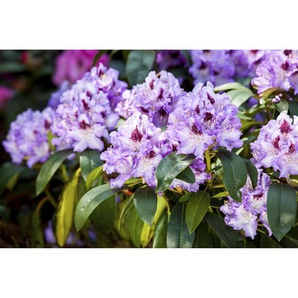 Rhododendron Blue Peter, 23 cm Topf