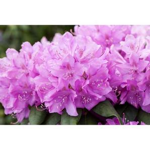 Rhododendron Catawbiense Boursault, 23 cm Topf