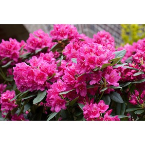 Rhododendron Dr. H.C. Dresselhuys, 23 cm Topf