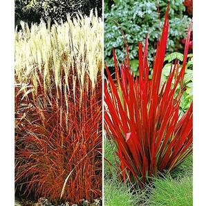 Rote Gräser-Kollektion,4 Pflanzen