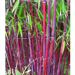 Roter Bambus Chinese Wonder, 1 Pflanze