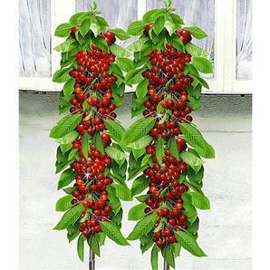 Säulen-Kirschen Sylvia® & Helena®, 2 Pflanzen Säulenobst, Kirschbaum