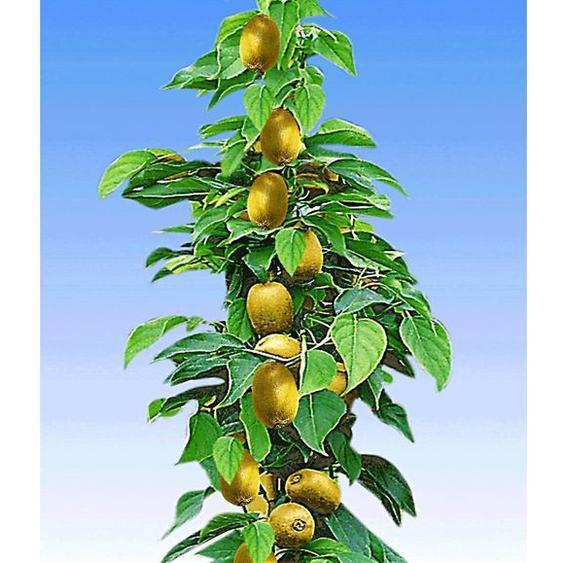 Säulen-Kiwi Issai, 1 Pflanze