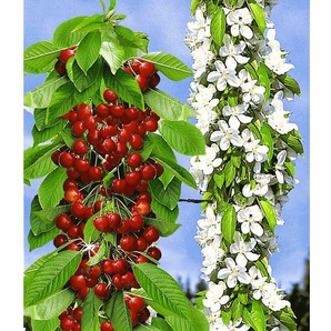 Säulen-Süßkirschen Sylvia®, Kirschbaum 1 Pflanze