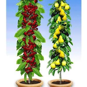 Säulenobst-Duo Birne & Kirsche,2 Pflanzen