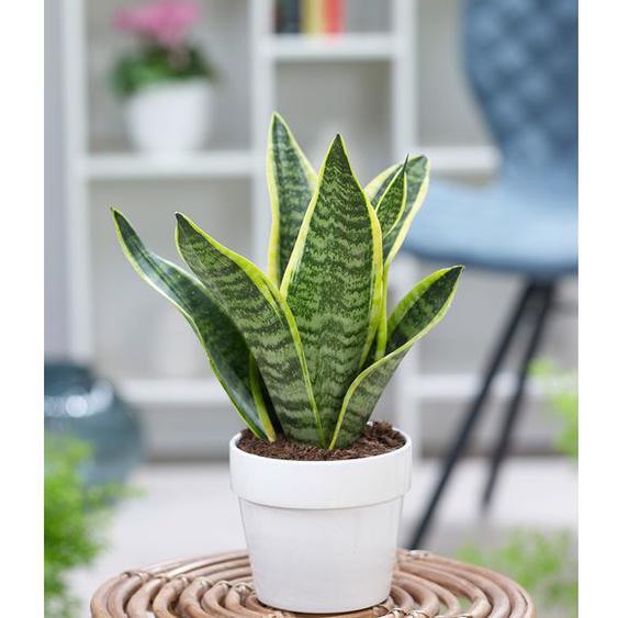 Sanseveria Futura Superba,1 Pflanze