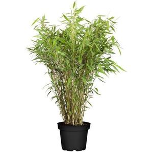 Gartenbambus, verschiedene Sorten