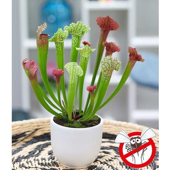 Schlauchpflanze Jutathip Soper,1 Pflanze