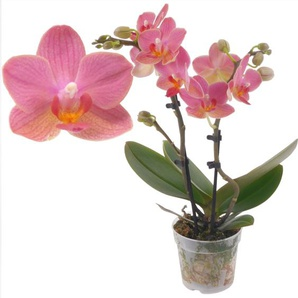 Schmetterlingsorchidee 2 Rispen Gwen orange/pink, 7 cm Topf