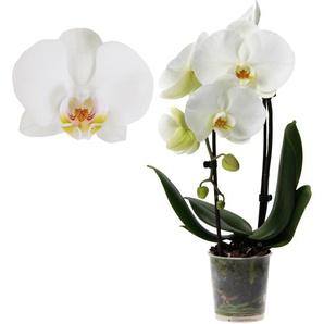 Schmetterlingsorchidee Big Sensation 2 Rispen weiß, 9 cm Topf