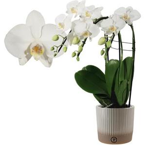 Schmetterlingsorchidee Cascade 3 Rispen weiß, 12 cm Keramiktopf