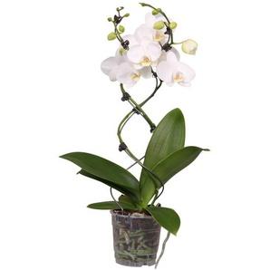 Schmetterlingsorchidee Spezialtwister weiß