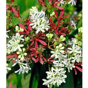 Sieben-Söhne-des-Himmels-Strauch,1 Pflanze