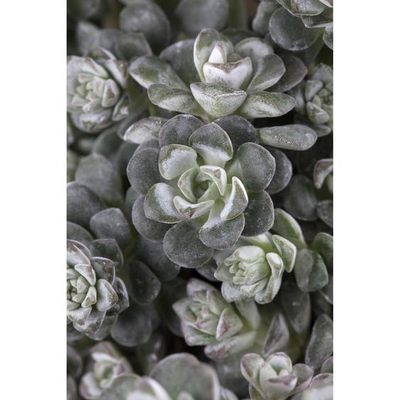 Silberspatelsedum Cape Blanco, 9 cm Topf, 3er-Set