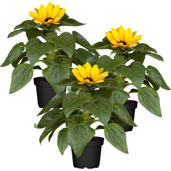 Sonnenblume 12 cm Topf, 3er-Set