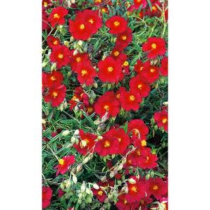 Sonnenröschen Cerise Queen, 9 cm Topf, 3er-Set