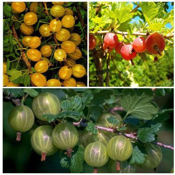 Stachelbeeren, 3 Sträucher je rot, gelb und grün, hohe Erträge, süß-säuerlich, winterhart