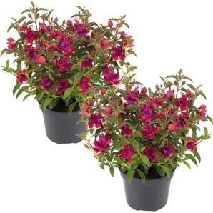 Stehende Fuchsie rot-violett, 12 cm Topf, 2er-Set