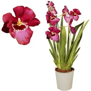 Stiefmütterchen-Orchidee 2 Rispen rot, 12 cm Topf