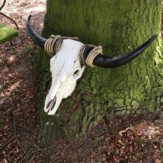Stierschädel mit riesigen Hörnern Longhorn Rinder Skull - Stier Schädel Bison