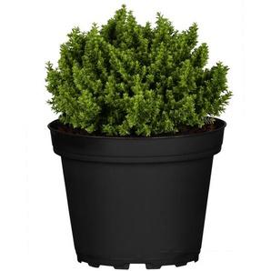 Strauchveronika Greenboys® Sam 12 cm Topf, 2er-Set