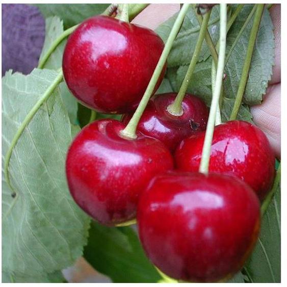 Süßkirsche »Stella Compact«, regelmäßige und hohe Erträge, große Früchte, winterfest