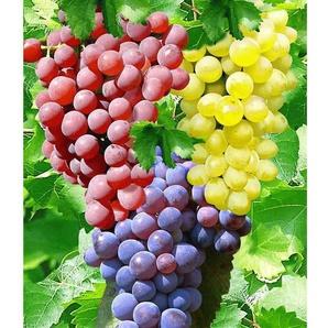 Tafel-Trauben, 3 verschiedene Pflanzen, Weinreben, kernlos, sehr winterhart und resistent